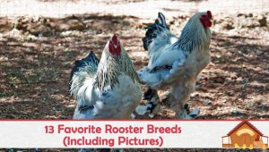 Our 13 Favorite Rooster Breeds (Including Pictures)