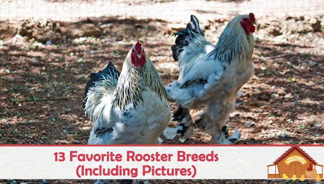 Our 13 Favorite Rooster Breeds Including Pictures The Happy Chicken Coop
