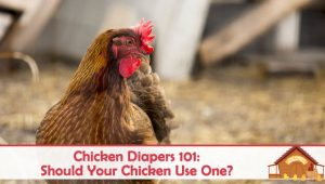 Chicken Diapers 101: Should Your Chicken Use One?