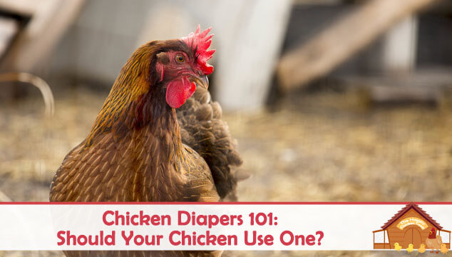 Chicken Diapers 101 Should Your Chicken Use One Blog Cover