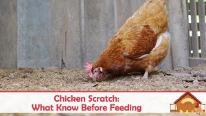 Chicken Scratch: What You Need To Know Before Feeding