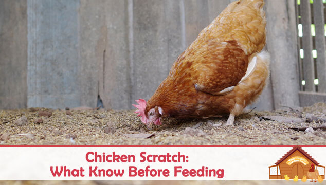 Chicken Scratch What You Need To Know Before Feeding Blog Cover