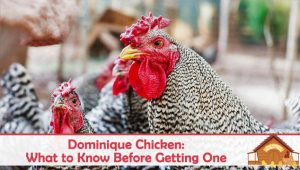 Dominique Chicken: What to Know Before Getting One