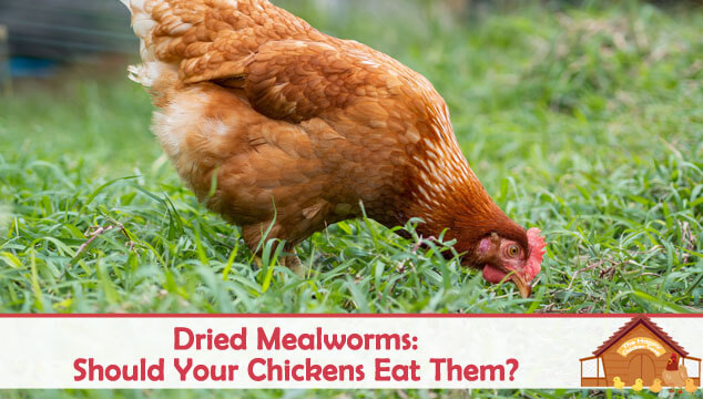Dried Mealworms Should Your Chickens Eat Them Blog Cover
