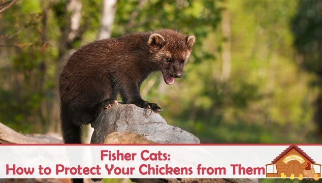 Fisher Cat: How to Protect Your Chickens from Them