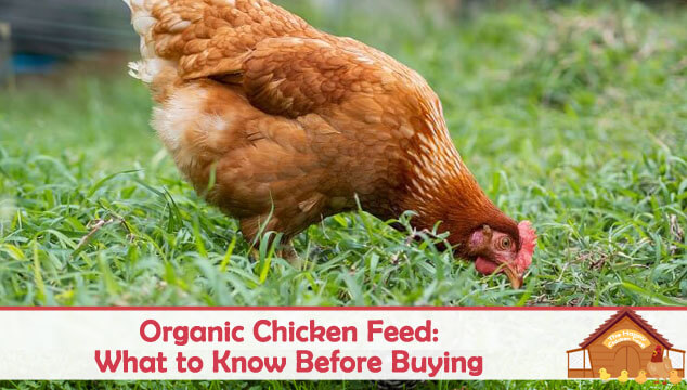 Organic Chicken Feed: What to Know