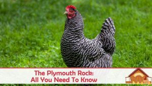 The Plymouth Rock Chicken: All You Need To Know