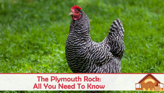 The Plymouth Rock Chicken All You Need To Know Blog Cover