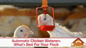 Automatic Chicken Waterers: What's Best For Your Flock