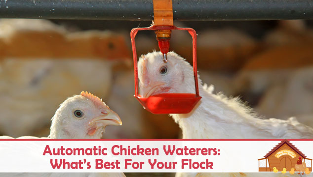 Automatic Chicken Waterers What's Best For Your Flock Blog Cover