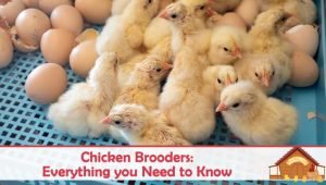 Chicken Brooders: Everything you Need to Know