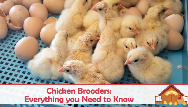 Chicken Brooders Everything you Need to Know Blog Cover