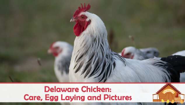 Delaware Chicken: Care, Egg Laying and Pictures