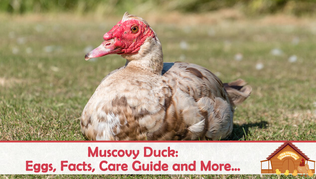 Muscovy Duck Eggs, Facts, Care Guide and More Blog Cover