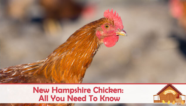 New Hampshire Chicken All You Need To Know Color Varieties and Temperament Blog Cover