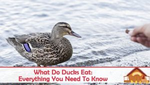 What Do Ducks Eat: Everything You Need To Know