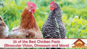 25 of the Best Chicken Facts (Binocular Vision, Dinosaurs and More)