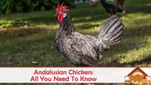 Andalusian Chicken: All You Need To Know About This Blue Hen