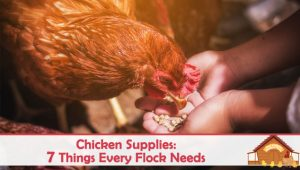 Chicken Supplies: 7 Things Every Flock Needs
