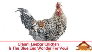 Cream Legbar Chicken: Is This Blue Egg Wonder The Chicken For You?