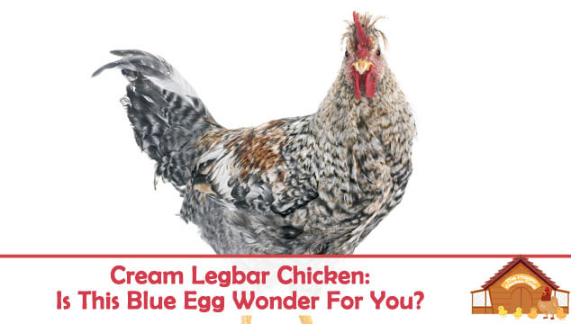 Cream Legbar Chicken Is This Blue Egg Wonder The Chicken For You Blog Cover