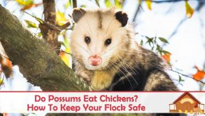 Do Possums Eat Chickens? How To Keep Your Flock Safe