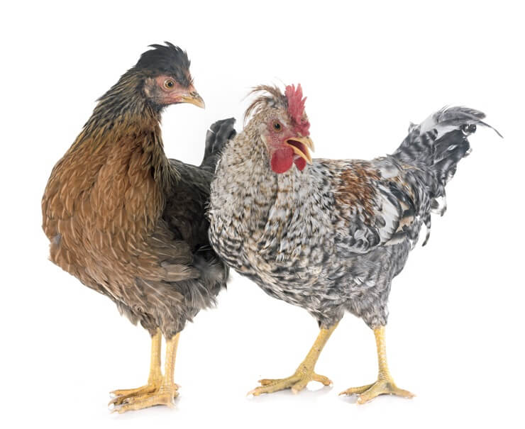 Legbar Chickens