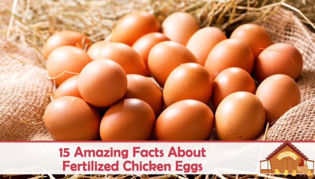 15 Amazing Facts About Fertilized Chicken Eggs Blog Cover