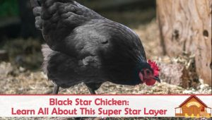 Black Star Chicken: Learn All About This Super Star Layer