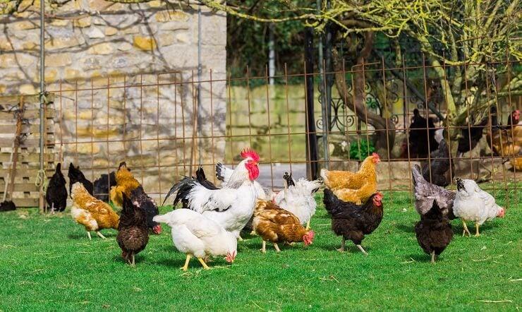 Black Star Chicken in Flock