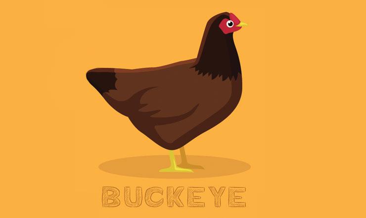 Buckeye Chickens
