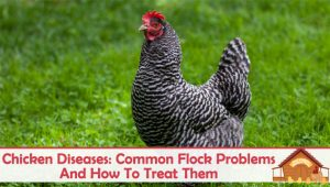 Chicken Diseases: 5 Common Flock Problems And How To Treat Them