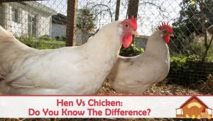 Hen Vs Chicken: Do You Know The Difference?