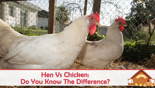 Hen Vs Chicken Do You Know The Difference Blog Cover
