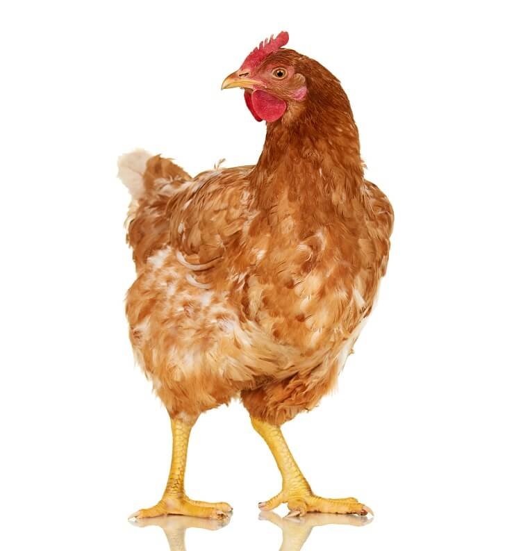 Red Broiler Hen