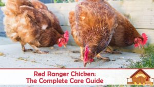 Red Ranger Chicken: The Complete Care Guide