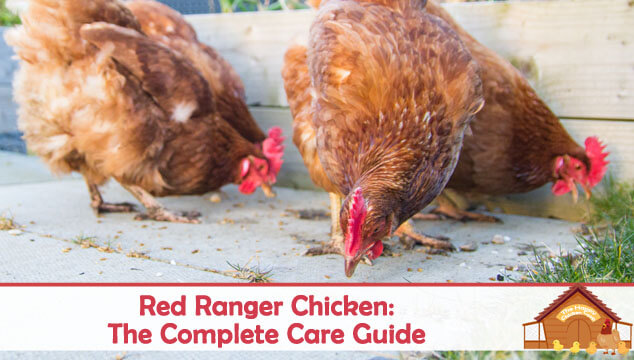 Red Ranger Chicken The Complete Care Guide Blog Cover