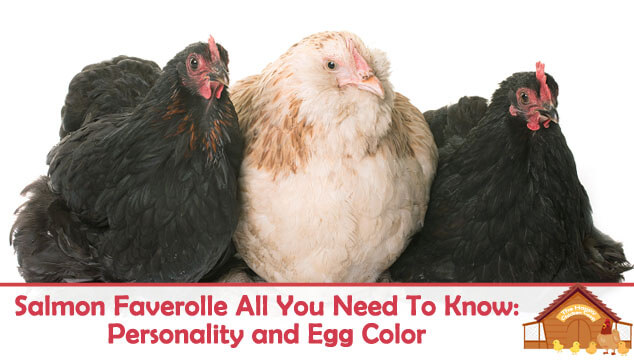 Salmon Faverolle All You Need To Know: Personality and Egg Color
