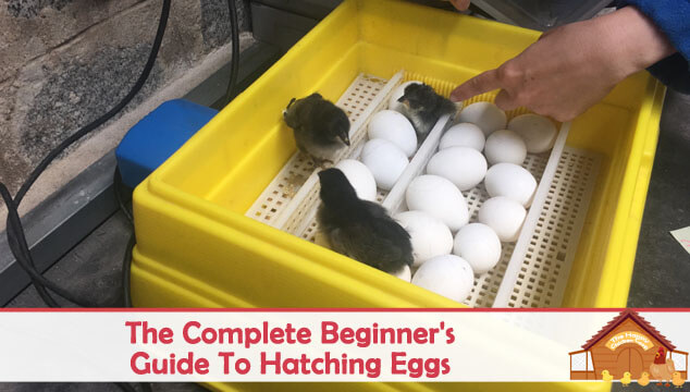 The Complete Beginner's Guide To Hatching Eggs Blog Cover