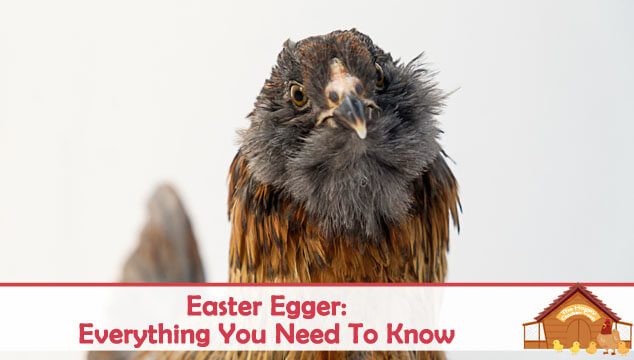 Easter Egger Everything You Need To Know About This Chicken Blog Cover