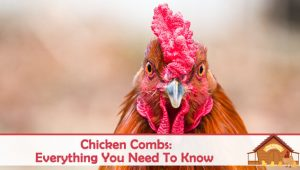 Everything You Need To Know About Chicken Combs (Varieties, Colors and More)