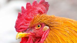 Everything You Need To Know About Chicken Combs (Varieties, Colors and More)jpg