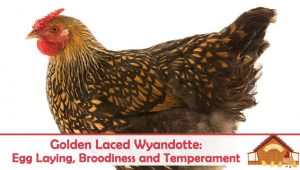 Golden Laced Wyandotte: Egg Laying, Broodiness and Temperament
