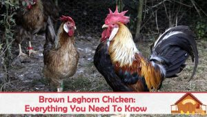 Brown Leghorn: Egg Laying, Broodiness, and Temperament