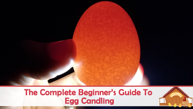 The Complete Beginners Guide To Egg Candling