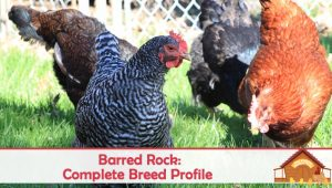 Barred Rock Chickens: Complete Breed Profile