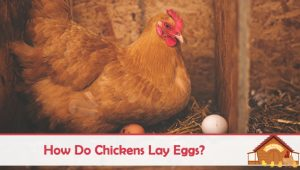 How Do Chickens Lay Eggs?