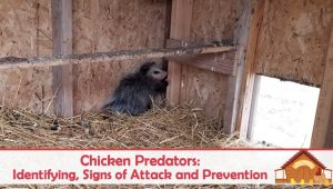 Chicken Predators: Signs of Attack and Prevention