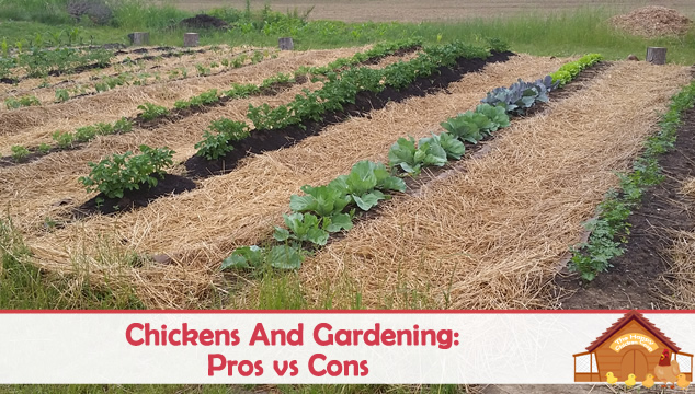 chickens and gardening