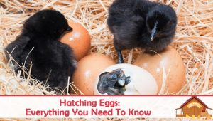 Hatching Eggs – Everything You Need To Know